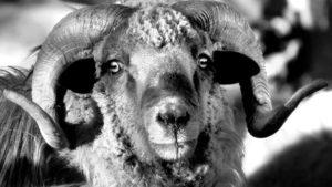 Sharon Begay Churro Sheep
