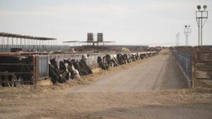 Cows in Clovis, New Mexico