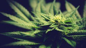 1439 Cannabis Update