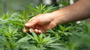 A hand feels a cannabis leaf.