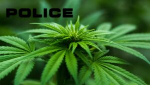 """Composite of cannabis plant, with superimposed label """"POLICE""""."""