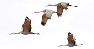 A group of sandhill cranes in flight.