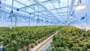 Rows of cannabis sit in a giant growhouse.