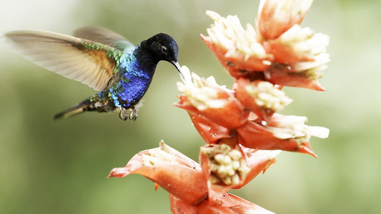 Nature: Super Hummingbirds