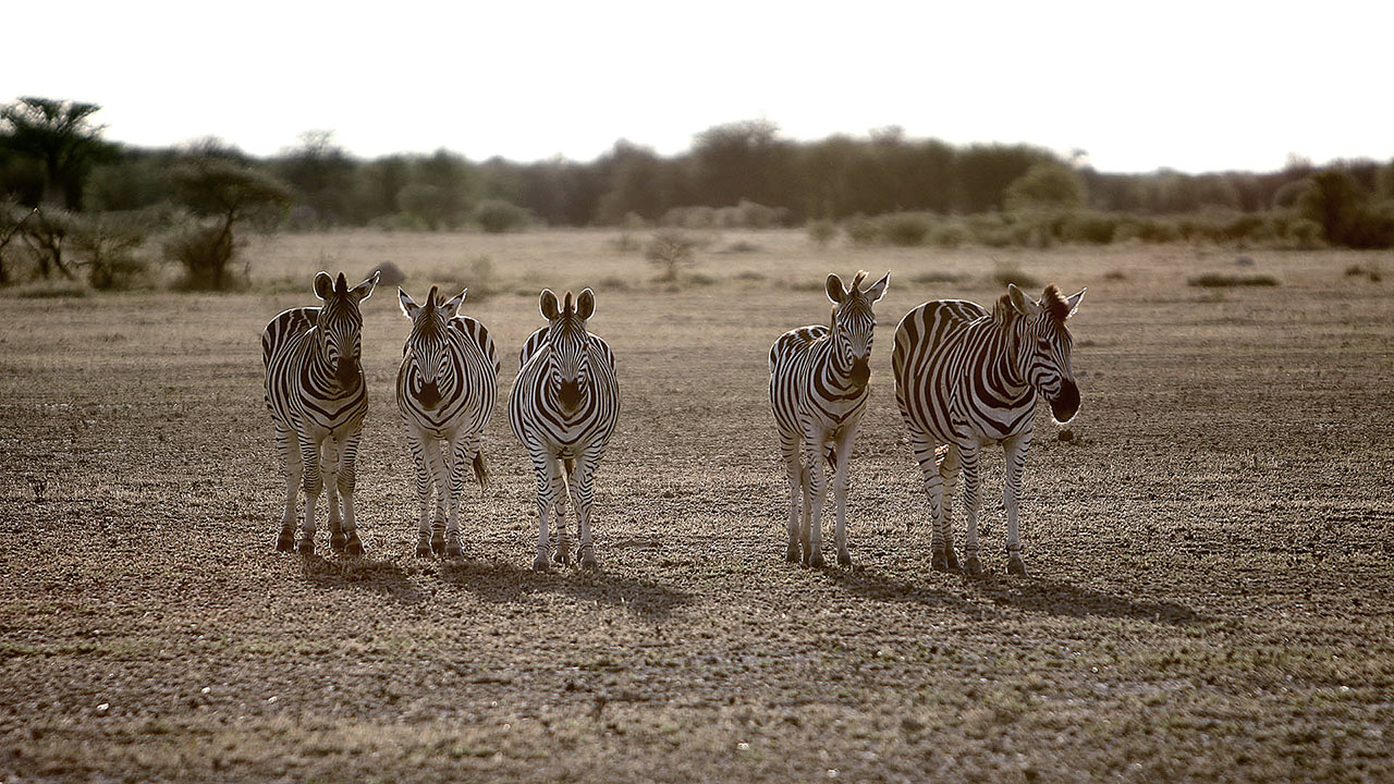Nature's Great Race: Zebras