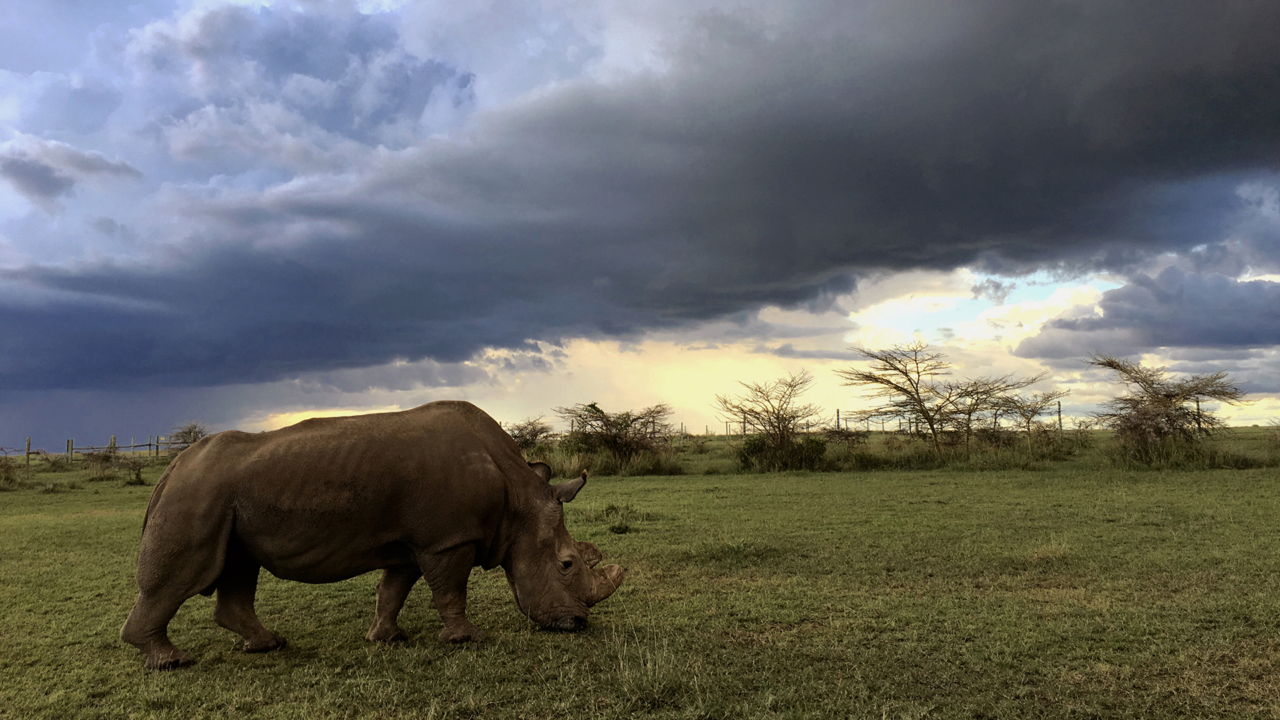 Natural World: Sudan: The Last of the Rhinos
