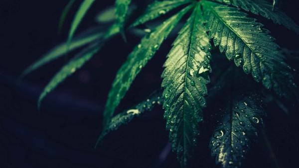 marijuana-leaf-wet